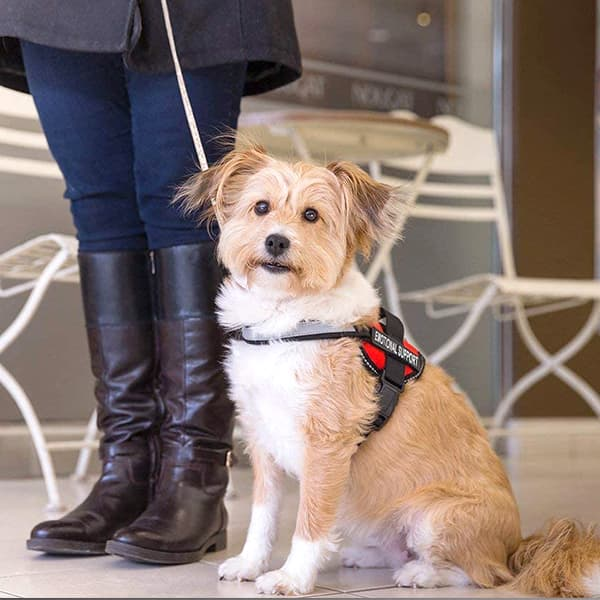 Emotional Support Dog with Harness