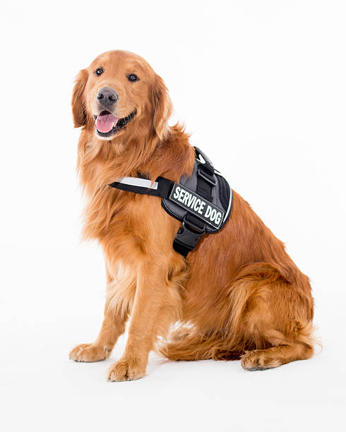 service dog wearing his vest and sitting on the floor
