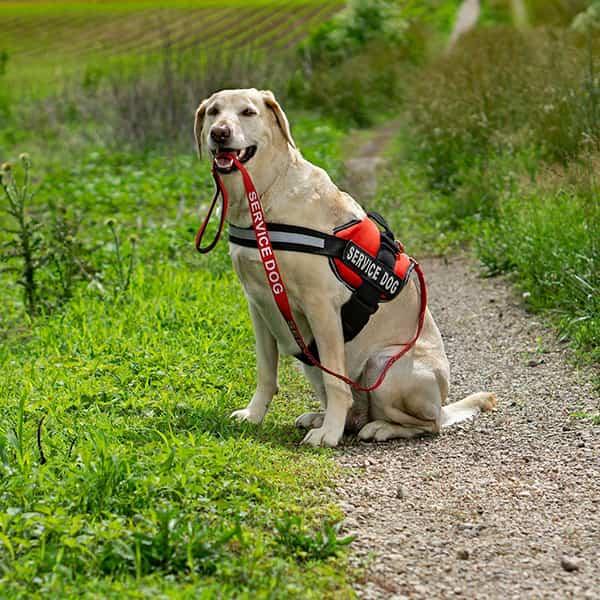 Service animal harness